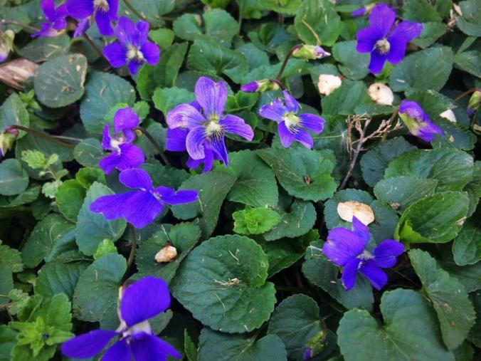 violet id